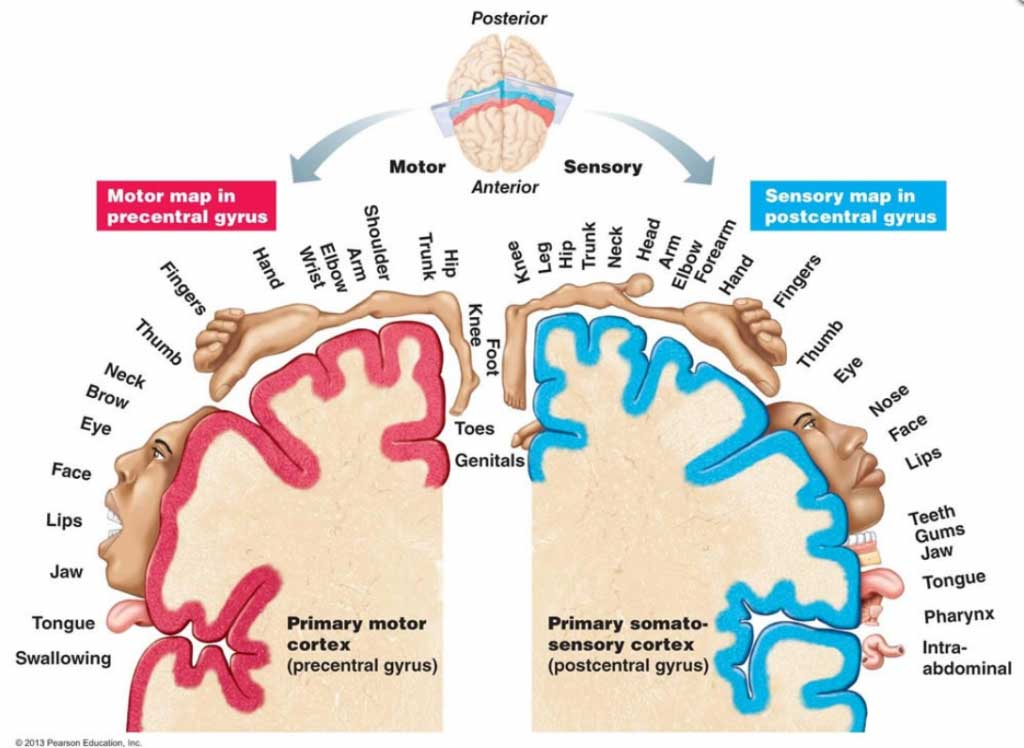 How the brain perceives the body and how the body looks are two completely different things. For example, the brain enlarges the mouth and hands.