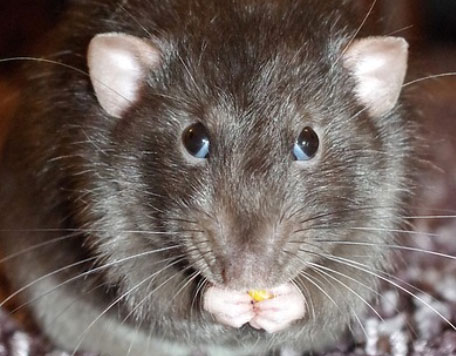 Rats can cope with stress by chewing. There is much evidence that people can use the same strategy